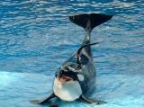 Nowa Zelandia opłakuje śmierć maleńkiej orki, która straciła kontakt z matką i fala rzuciła ją na skały (WIDEO)