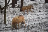 Śnieg zasypał poznańskie zoo. Jak zwierzęta znoszą zimno? Niektóre cieszą się z zabaw w białym puchu, inne zimę prześpią