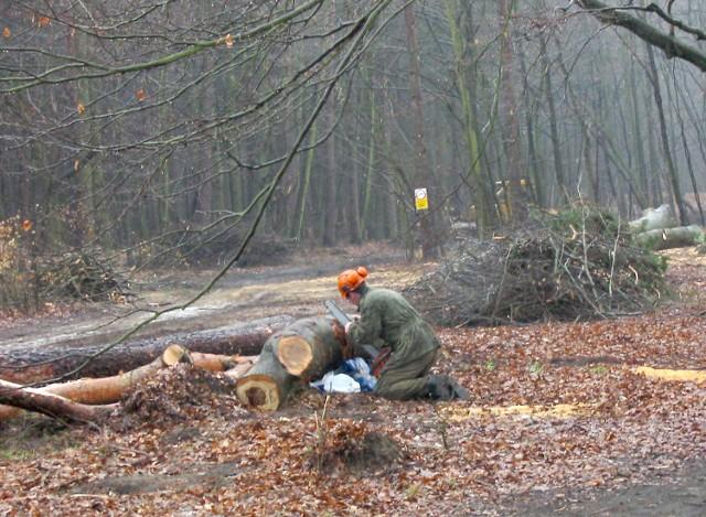 W czwartek od rana wycinano drzewa przy ul. Jaworowej. Zdaniem ZUK nie ma podstaw do obaw, bo w tym miejscu zostaną posadzone młode drzewa. Mieszkańcy są jednak przerażeni, że wycina się kilkadziesiąt zdrowych buków i dębów.