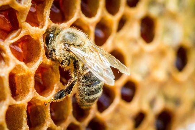 Pszczoły, zarówno miodne, jak i dzikie, są bardzo pożyteczne