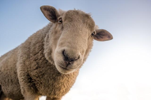 Pogłowie pozostałych zwierząt gospodarskich w Opolskiem: owce - 2359 (w 2010 r.), 2143 (w 2019 r.); kozy - 1661 (w 2010 r.), 532 (2019 r.), konie - 2976 (w 2010 r.), 2617 (w 2019 r.).