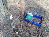 Kto porzucił w lesie w Bydgoszczy klatkę ze szczurami? Część zwierząt nie przeżyła!