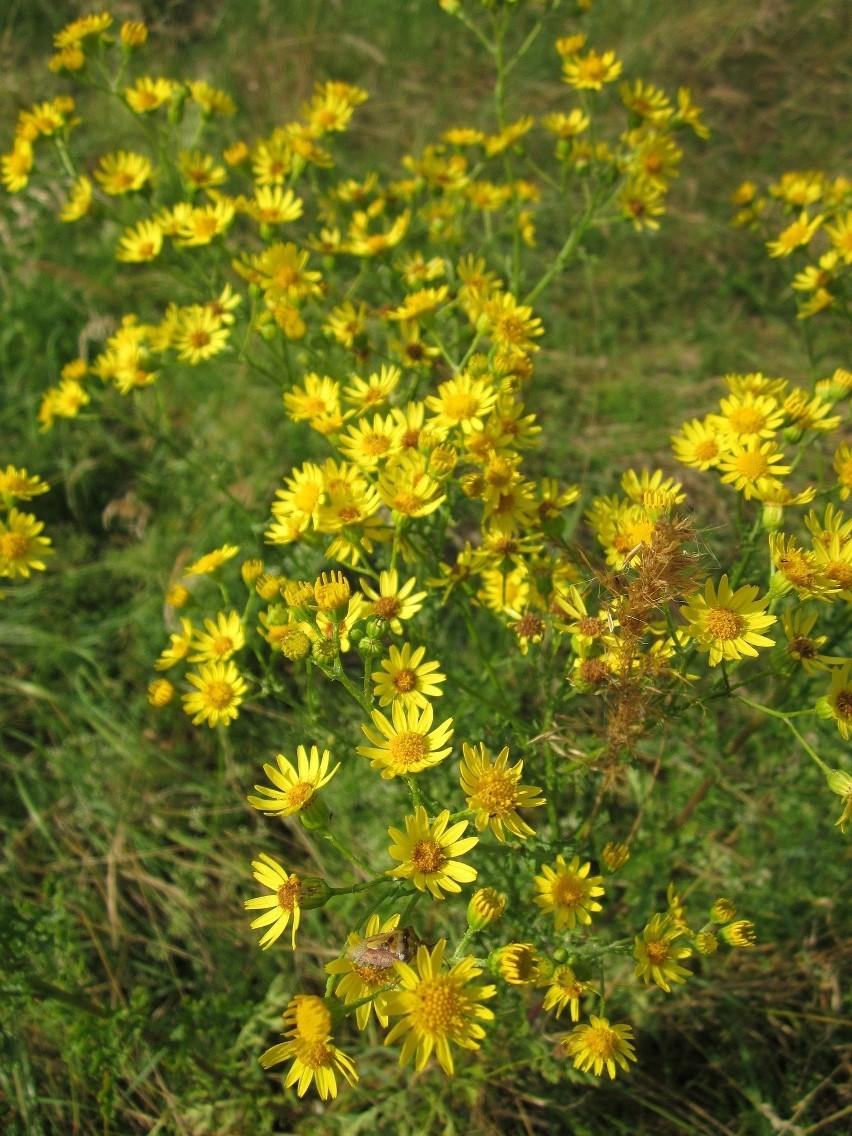 Ta roślina w Polsce rośnie niemal wszędzie. Starzec jakubek...