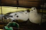 Unikalna rasa gołębi wyhodowana w Skierniewicach. To je można zobaczyć na ślubach