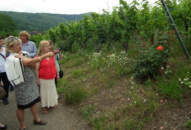 - Róże są dla winorośli swoistym barometrem zagrożeń – mówi Marta Wach.