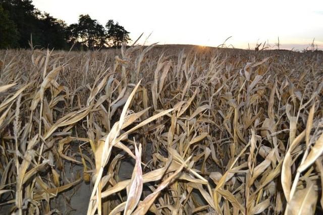 Tegoroczne zbiory kukurydzy okroiła susza