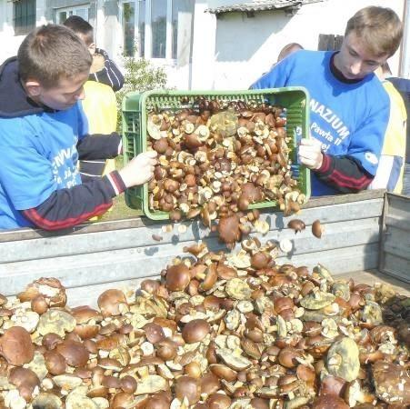 Wojciech Warzybok i Damian Nagajek z Gimnazjum z Przytocznej razem z koleżankami i kolegami zebrali 39 kg podgrzybków
