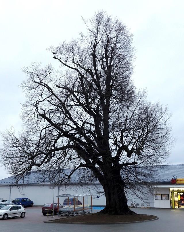 Drzewo stoi teraz w niewielkiej odległości od marketu. Obok znajduje się parking.