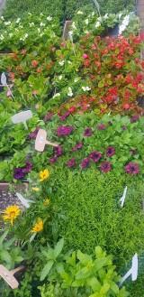 Czas na rośliny rabatowe i balkonowe - sezon na ukwiecanie w pełni