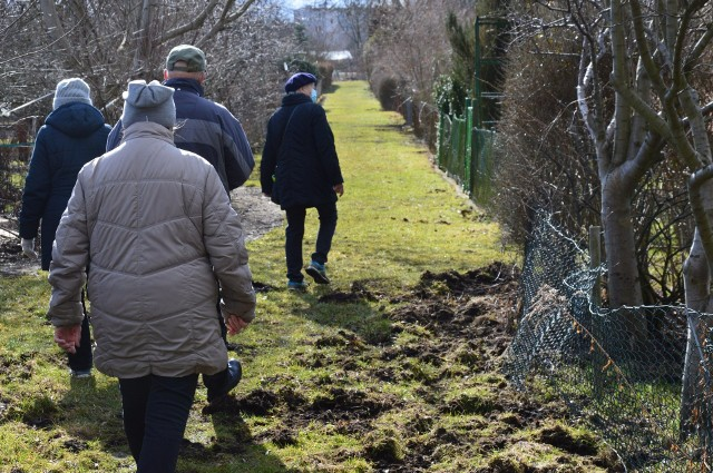 Dziki rujnują pracę działkowców w Świebodzinie