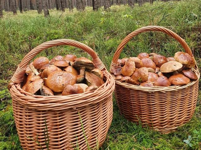 Opolskie. Mnóstwo grzybów w lasach. Internauci chwalą się niesamowitymi okazami oraz pełnymi koszami