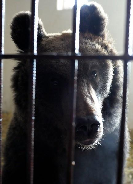 Niedźwiedzica opuściła Przemyśl. Czy wróci?
