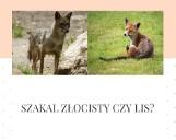 Szakal czy wychudzona lisica? Coś spaceruje w rejonie Wołczkowa