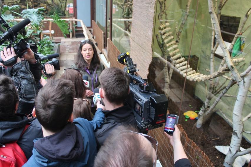 Wojna o małpę. Kolejny konflikt dyrektorki poznańskiego zoo z powiatowym lekarzem weterynarii [FILM]