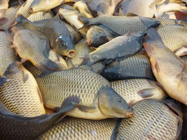Karp to numer jeden w krajowej akwakulturze.