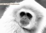 Małpa zastanawia się... nad sensem życia (wideo)