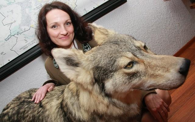 - Wilk będzie ozdobą naszego muzeum. To dowód, że te drapieżniki znowu zadomowiły się w okolicach Międzychodu i Drezdenka - mówi Agnieszka Winkler z międzychodzkiego nadleśnictwa.