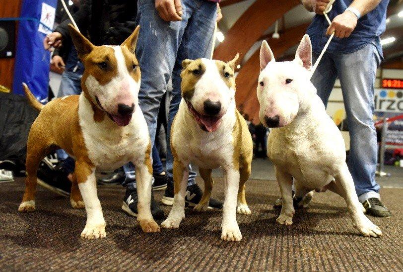 Poważne ZIELONA GÓRA. Psie piękności na pierwszym dniu wystawy psów KB81