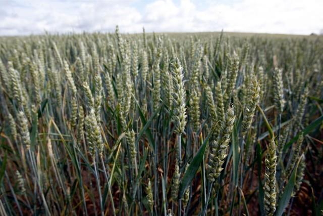 Podczas konferencji w Szepietowie będzie można m.in. poznać innowacje w produkcji zbóż