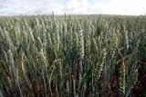 """Podlaski Ośrodek Doradztwa Rolniczego w Szepietowie zaprasza na konferencję """"Nowoczesna technologia produkcji zbóż i rzepaku"""""""