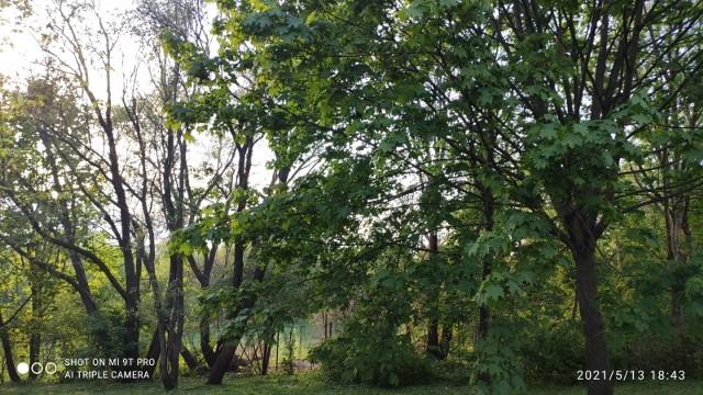"""Spółdzielnia Mieszkaniowa """"Wielkopolanka"""" chce usunąć 24 drzewa pod budowę parkingu. Na zdjęciach drzewa, które planują usunąć. Mieszkańcy protestują przeciwko temu"""