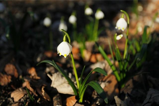 Śnieżycowy Jar: Zrobiło się biało od kwiatków
