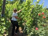 Polka prowadzi winnicę w Alzacji. Marta Wach: Na 8 hektarach mamy 60 tys. krzewów winorośli. Rodzina Wach zajmuje się uprawą od 1748 r.