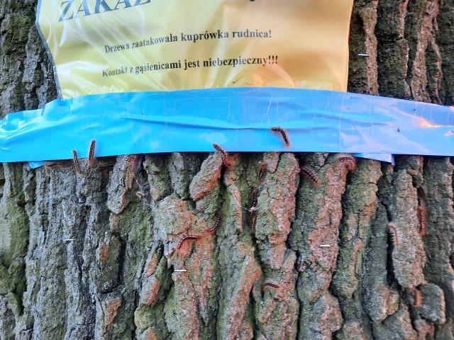 Aleja dębowa w Łowoszowie zaatakowana przez gąsienice