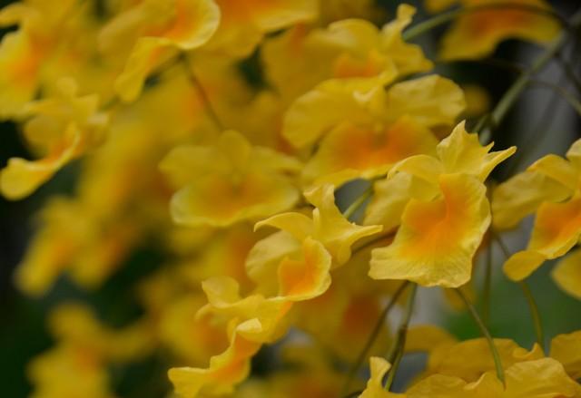 W Tradycyjnej Medycynie Chińskiej stosuje się różne części orchidei Dendrobium chrysotoxum, m.in. łodygi i kwiaty.