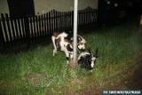 Spowodowała wypadek, gdzy podróżowały z nią dwie... kozy. Jedna na siedzeniu, druga w bagażniku