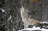 Łowczy krajowy chce kontrolowanego odstrzału wilka? Co na to Polski Związek Łowiecki?