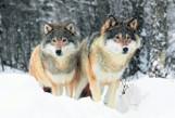 Wierny i czuły jak wilk. Przez 60 lat na terenie Polski wilka nie było. Co o nim wiemy?