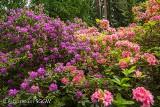 W rogowskim Arboretum kwitną różaneczniki. Warto pojechać. ZDJĘCIA