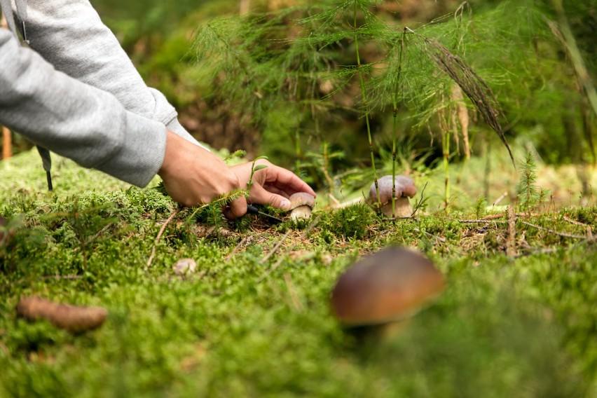 Nie wyrywaj grzybów z ziemi, bo uszkodzisz grzybnię. Wtedy...