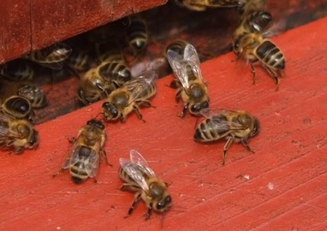 Co Robić Gdy Użądli Pszczoła Express Ilustrowany
