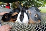 XV Jesienna Giełda Ogrodnicza w Boguchwale. Wystawa królików, podkarpackie smaki i wiele innych atrakcji już w ten weekend