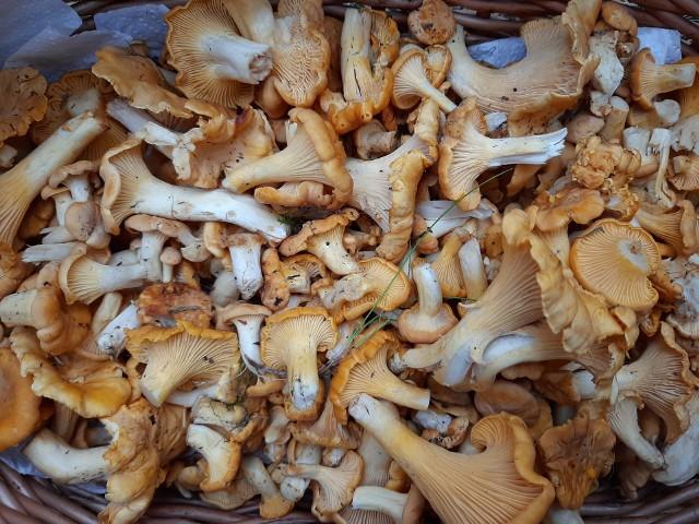 Te grzyby zostały zebrane pod Grudziądzem