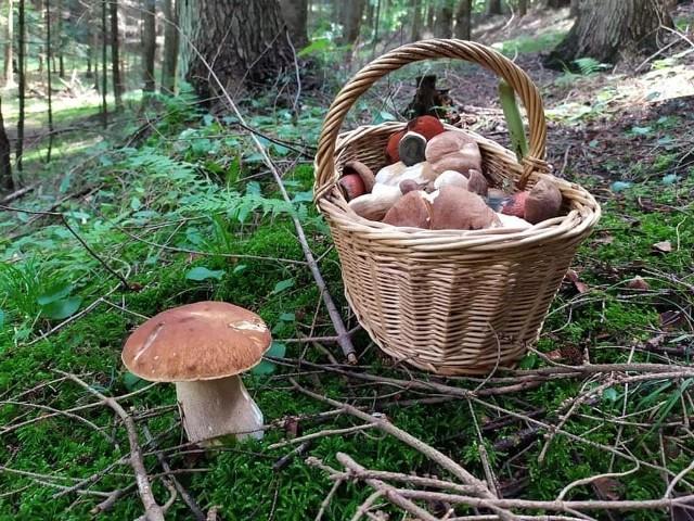 Mieszkanka Muszyny znalazła piękne borowiki, sezon na grzyby trwa
