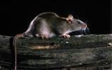 Zje świecę, skoczy z wysokości 3 piętra, sprzeda chorobę. Szczur kontra rolnik