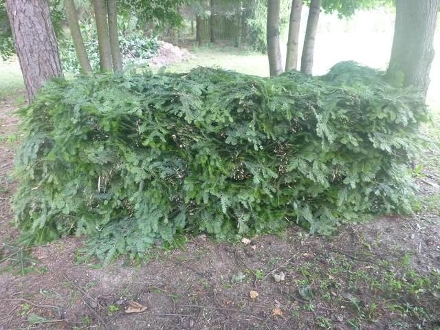 Złodziej przygotował do wywiezienia z puszczy dużą ilość stroiszu, czyli młodych jodeł. Kradnąc uszkodził wiele drzew.