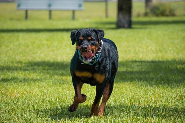 Agresywne psy atakują a parku Szczytnickim. Zdjęcie ilustracyjne
