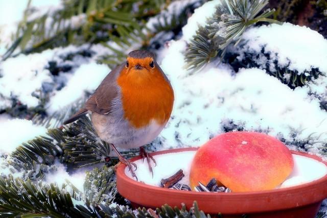 Ogród zimąZimą ogród może być zielony. A jak zaprosimy do niego ptaki zimujące w naszym kraju, będzie też kolorowy.