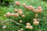 W rogowskim arboretum kwitną hortensje i lilie wodne