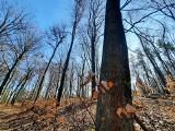 Katowice. Jest wniosek o ustanowienie użytku ekologicznego w Lasach Murckowskich. Dotyczy 13 hektarów. Ma chronić stare buki przed wycinką
