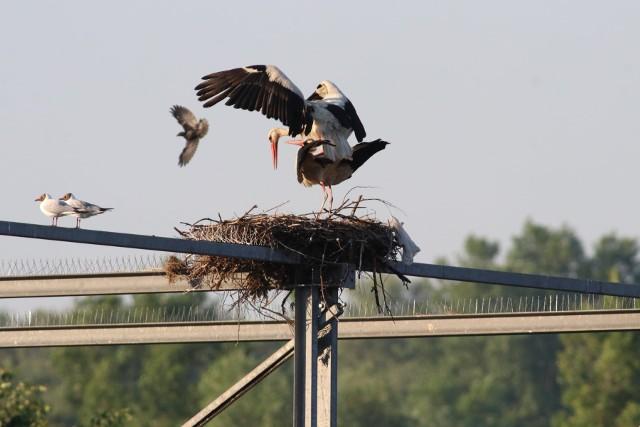 Bociany wybudowały trzy gniazda na metalowej konstrukcji nad kompostownią na Składowisku Odpadów Komunalnych w Oświęcimiu