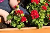Urządzamy taras i balkon. Kwiaty w pojemnikach, doniczkach i skrzynkach na balkon i do ogródka! Łatwe w uprawie kwiaty 22.06.2021