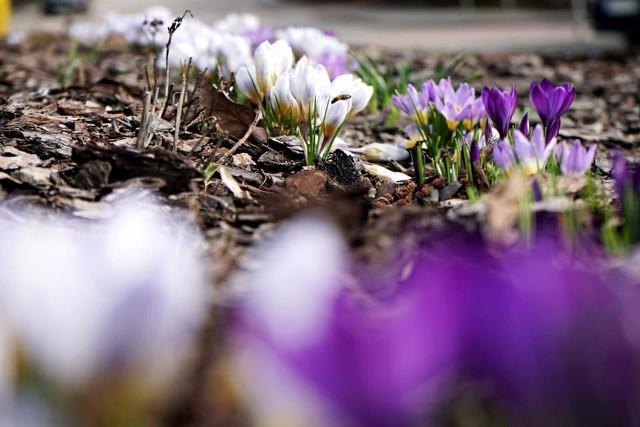 Wiosna wybuchła nam prosto w twarz! - jak brzmi tekst popularnej piosenki rockowej. Burmistrz Siemiatycz z okazji pierwszego dnia wiosny opublikował na swoim facebookowym profilu zdjęcia, na których pokazuje jak piękne są Siemiatycze o tej porze roku.
