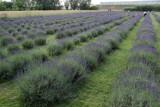 Plantacja lawendy pod Wieluniem. Rośnie tam ponad 4 tysiące lawend lekarskich oraz kilkaset lawandyn ZDJĘCIA