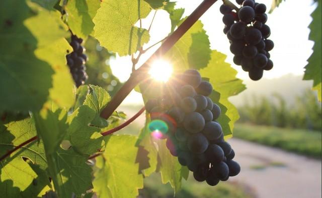 Winorośl jest dość wymagająca, więc jeśli planujemy jej uprawę, musimy zapewnić jej odpowiednie warunki.