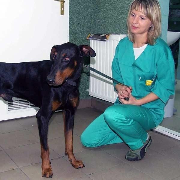 - Kamis jest pięknym dobermanem. Nowy właściciel na pewno będzie z niego bardzo zadowolony - mówi Anna Widomska, weterynarz z lecznicy Oręziaków.